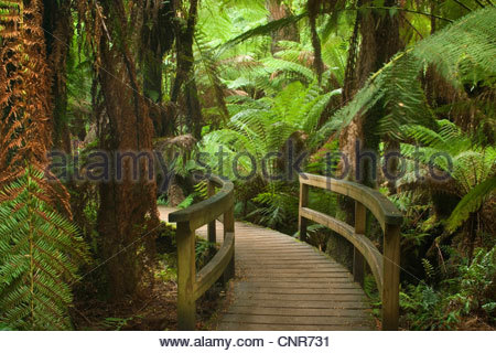 Idyllic path - a path leads through a gully with lots of treefern in a lush temperate rainforest , Australia, Victoria, - Stock Photo