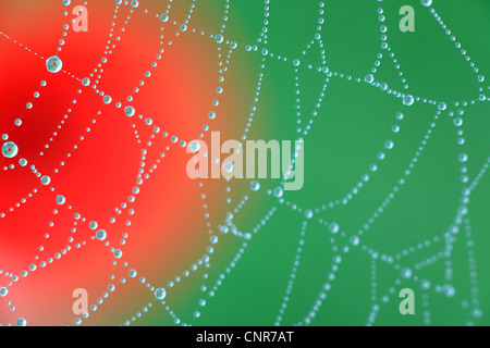 spiderweb in front of poppy - Stock Photo