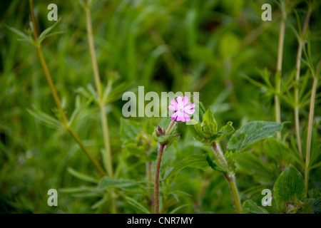 A solitary red campion flower - Stock Photo