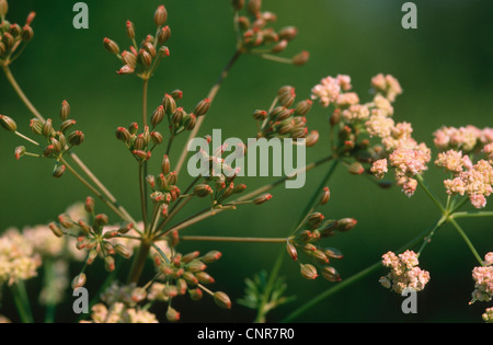 common caraway (Carum carvi), flowers and fruits - Stock Photo