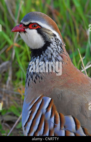 red-legged partridge (Alectoris rufa), portrait, Europe - Stock Photo