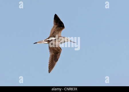 common greenshank (Tringa nebularia), flying, Europe - Stock Photo