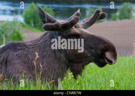 moose, elk (Alces alces), male, portrait on meadow, Sweden - Stock Photo
