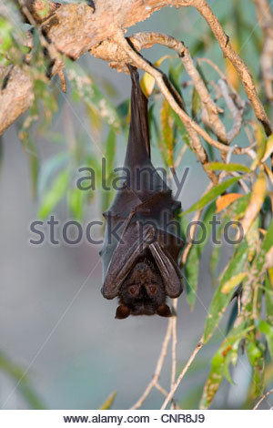 Little Red Flying Fox (Pteropus scapulatus), adult Little Red Flying-Fox roosts in a colony in the trees during - Stock Photo