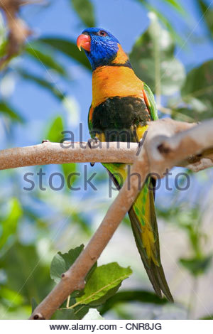 Red-collared Lorikeet (Trichoglossus rubritorquis), adult male sitting on a tree branch looking out, Australia, - Stock Photo