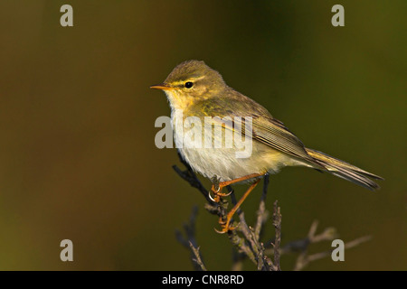 willow warbler (Phylloscopus trochilus), singing on twig, Germany, Schleswig-Holstein - Stock Photo