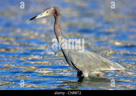 little blue heron (Egretta caerulea), on the feed in a lake, USA, Florida, Everglades National Park - Stock Photo