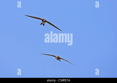alpine swift (Apus melba, Tachymarptis melba), two individuals flying, Austria - Stock Photo
