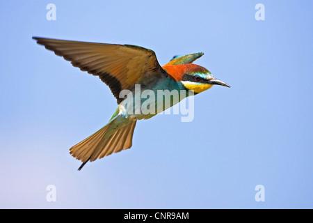 European bee eater (Merops apiaster), flying, Germany
