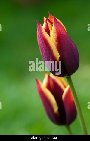 Tulipa. Triumph Tulip Gavota - Stock Photo