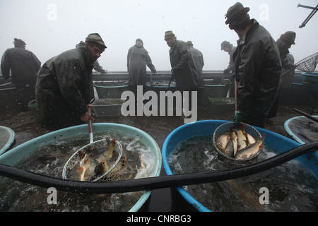 Traditional mass carp fishing at the Velky Tisy Pond in South Bohemia, Czech Republic. - Stock Photo