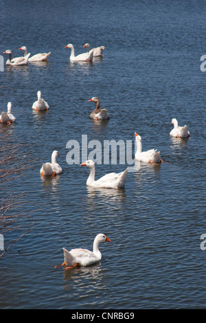 Geese swimming around a pond on a farm in Elands Bay, Western Cape, South Africa - Stock Photo