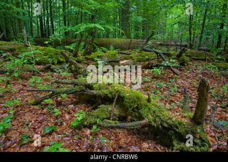 dead logs in spring in virgin forest Mittelsteighuette, Germany, Bavarian Forest National Park - Stock Photo