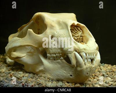 polar bear (Ursus maritimus), skull, Norway, Svalbard, Longyearbyen - Stock Photo