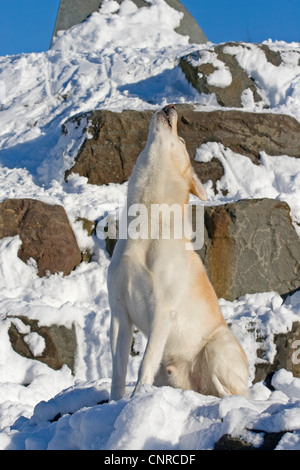 Siberian Husky (Canis lupus f. familiaris), 5-year-old male dog sitting on a rock and howling with its head upraised - Stock Photo