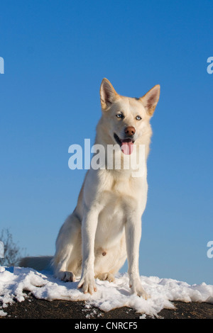 Siberian Husky (Canis lupus f. familiaris), 5-year-old male dog sitting in the snow - Stock Photo