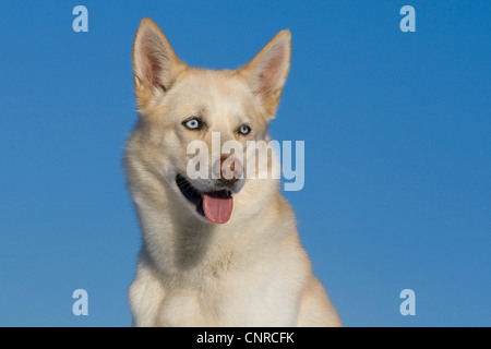 Siberian Husky (Canis lupus f. familiaris), portrait of a 5-year-old male dog - Stock Photo