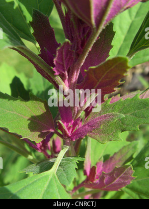 Magenta lamb's quarters, Tree Spinach (Chenopodium giganteum), red coloured leaves - Stock Photo