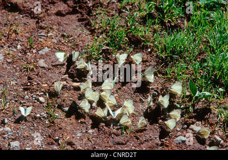 Dark-veined White (Pieris bryoniae, Artogeia bryoniae), over twenty individuals sitting on the ground and sucking - Stock Photo