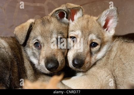 Saarloos Wolfdog (Canis lupus f. familiaris), puppies looking shyly - Stock Photo