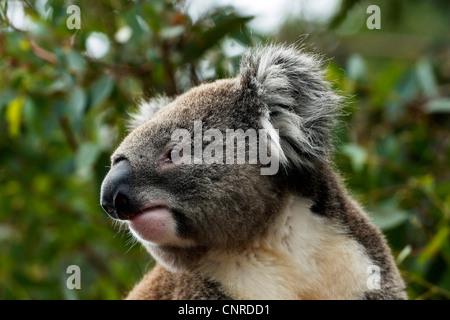 koala, koala bear (Phascolarctos cinereus), portrait, Australia - Stock Photo