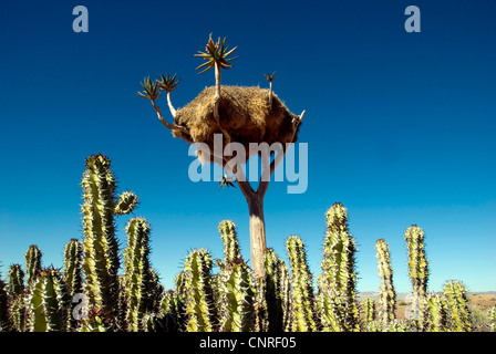 weavers (Ploceinae), nest in a quivertree, Namibia, Fish River Canyon - Stock Photo