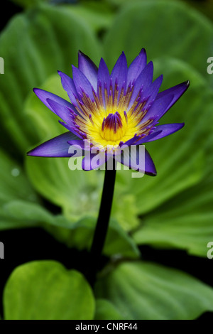 Egyptian lotus, blue lotus of the nile, blue water lily (Nymphaea caerulea), flower - Stock Photo