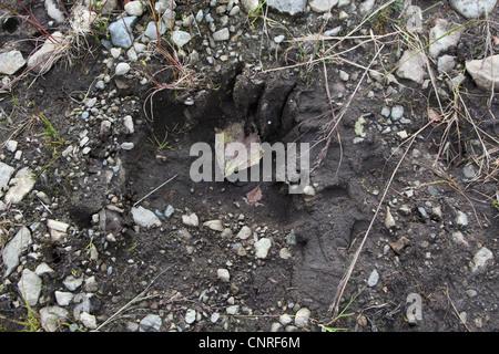brown bear, grizzly bear (Ursus arctos horribilis), track, USA, Alaska - Stock Photo