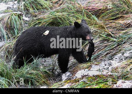 American black bear (Ursus americanus), with salmon, USA, Alaska Stock Photo