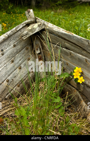 marsh marigold (Caltha palustris), old wooden overgrown boat  with kingcups, Sweden - Stock Photo