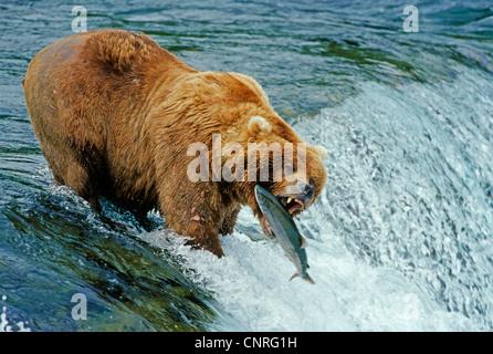 brown bear, grizzly bear (Ursus arctos horribilis), catches Salmon, USA, Alaska, Denali Nationalpark - Stock Photo