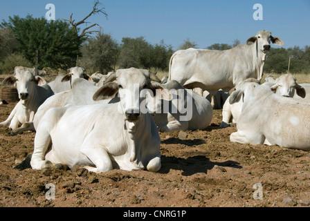 domestic cattle (Bos primigenius f. taurus), white cows resting ruminating, Namibia - Stock Photo