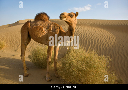 dromedary, one-humped camel (Camelus dromedarius), a young CAMEL in the THAR DESERT, India, Rajasthan - Stock Photo