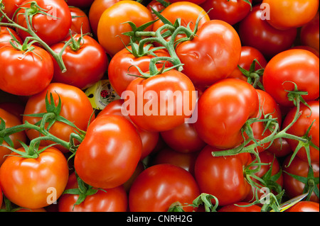 Fresh vine tomatoes - Stock Photo