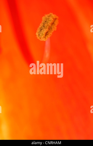 amaryllis (Hippeastrum spec.), single anther in a flower - Stock Photo
