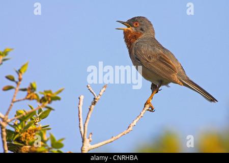 subalpine warbler (Sylvia cantillans), singing, Europe - Stock Photo