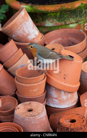 Erithacus rubecula. Robin perched on a stack of flowerpots - Stock Photo