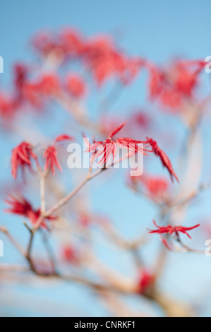 Acer Palmatum Deshojo. Bonsai Japanese maple tree leaves against a blue sky - Stock Photo