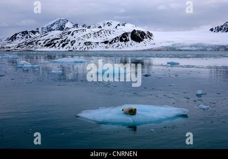 bearded seal (Erignathus barbatus), on ice floe, Norway, Svalbard, Lilliehoeoekfjorden - Stock Photo