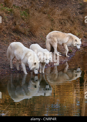 arctic wolf, tundra wolf (Canis lupus albus), three individuals at the water - Stock Photo