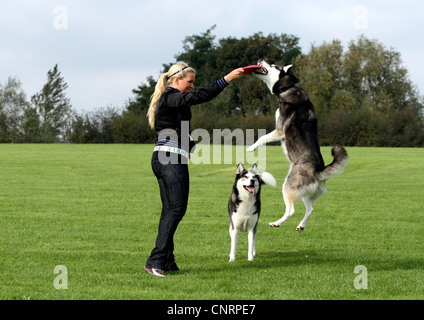 Siberian Husky (Canis lupus f. familiaris), young woman playing frisbee with two Huskies on a meadow - Stock Photo
