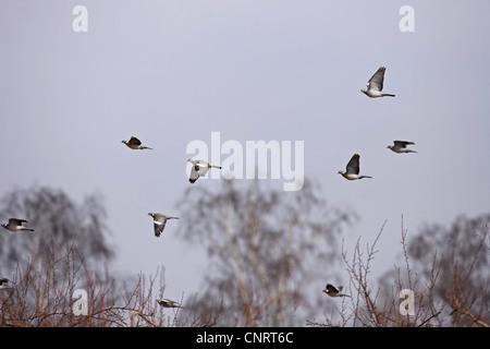 wood pigeon (Columba palumbus), flying flock, Germany - Stock Photo