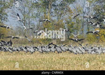 common crane (Grus grus), crans rest on harvested corn field, Germany, Mecklenburg-Western Pomerania, bei Guenz
