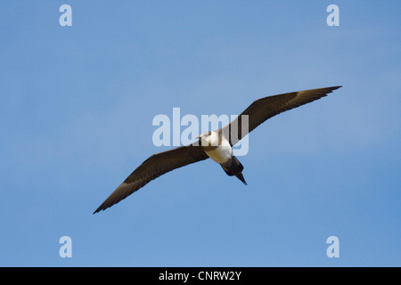 arctic skua (Stercorarius parasiticus), in flight, Norway, Nordkinnhalvoya - Stock Photo