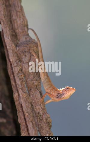 Common Blood Sucker, Indian Tree Lizard, Garden Lizard (Calotes versicolor), in backlit at a log, Thailand, Khao Lak NP