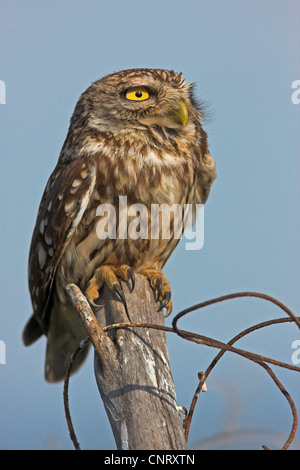 little owl (Athene noctua), sitting on a pile, Greece, Lesbos - Stock Photo
