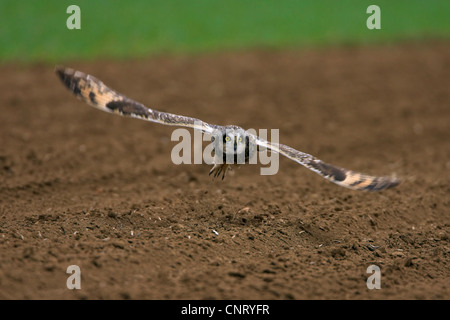 short-eared owl (Asio flammeus), taking off from an acre, Germany, Rhineland-Palatinate - Stock Photo
