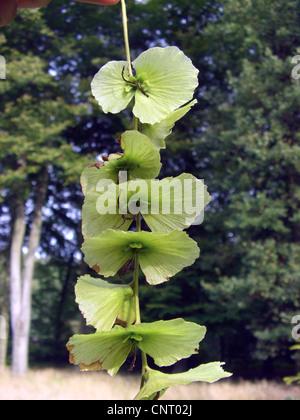 Cyclocarya (Cyclocarya paliurus, Pterocarya paliurus), infructescence - Stock Photo