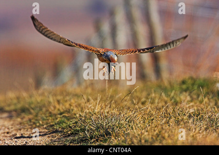 common kestrel (Falco tinnunculus), flying over a field path with prey, Germany, Rhineland-Palatinate - Stock Photo