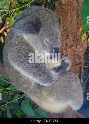 koala, koala bear (Phascolarctos cinereus), sleeping in a tree, Australia - Stock Photo